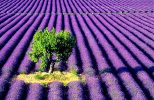 Lavender farm and tree